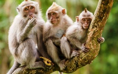 Diduga Merusak, Monyet Diracun 2 Tewas 1 Selamat